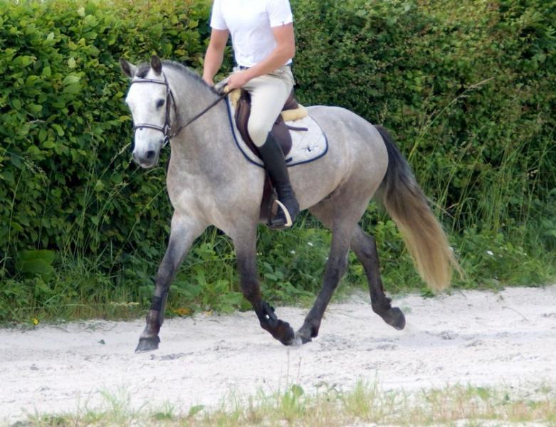 poneys d pride boy hongre poney connemara de 10 ans par callowfeenish buachaill et village boy. Black Bedroom Furniture Sets. Home Design Ideas