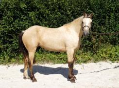 poney isabelle a vendre