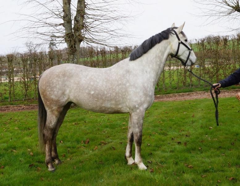 tous les chevaux vendre calita femelle holsteiner de. Black Bedroom Furniture Sets. Home Design Ideas