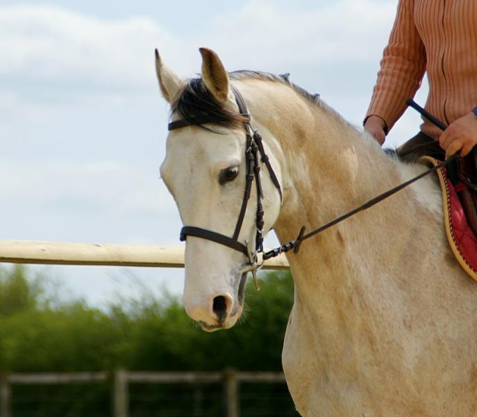 Tous les chevaux à vendre : Sunny, Hongre Paint Horse de